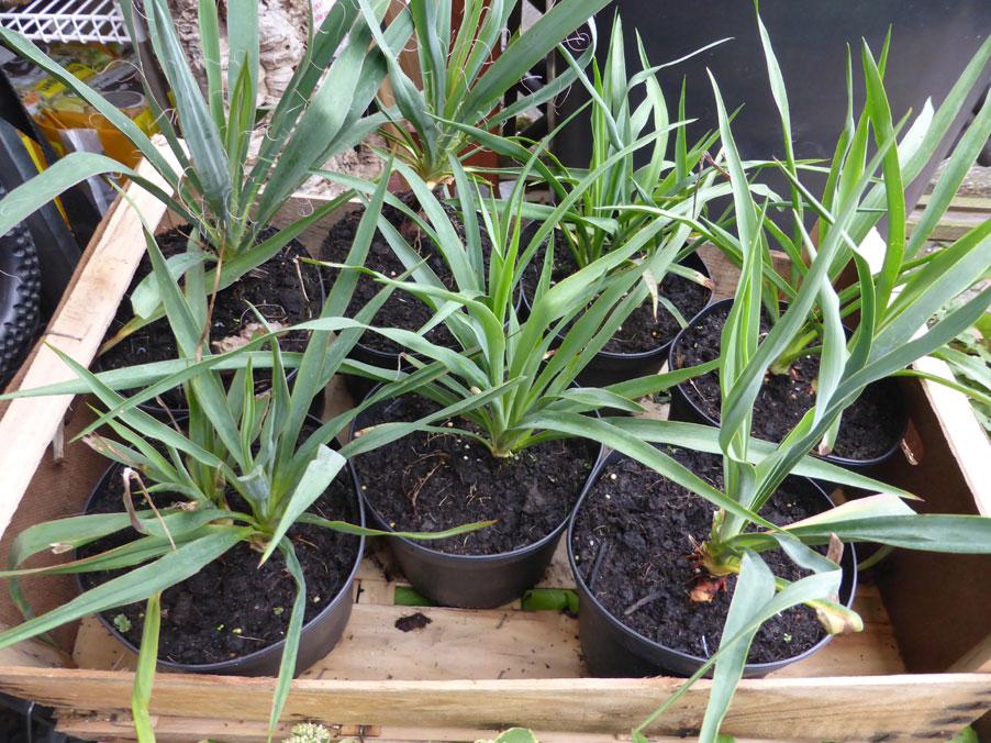 terratuga schildkr tenshop yucca f drige palmlilie. Black Bedroom Furniture Sets. Home Design Ideas