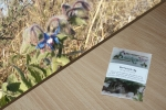 Borretsch 5g   (Borago officinalis)